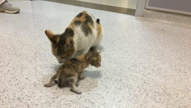 Photo of Conmovedor: Gata llevó a su cría enferma al hospital y es viral en las redes sociales